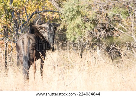 A blue Wildebeest looking back over his shoulder - stock photo