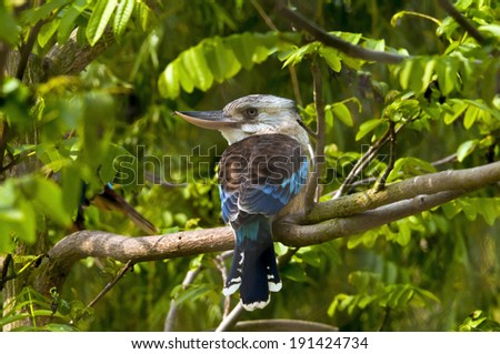 A blue-winged Kookaburra sitting on a branch. - stock photo