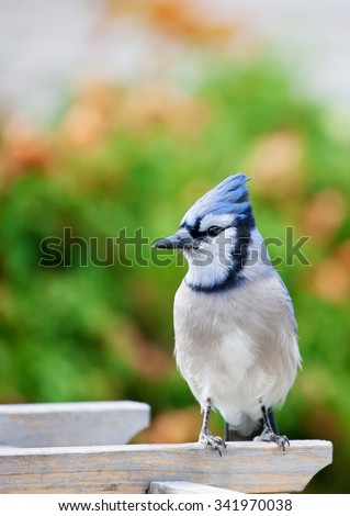 A bluejay perched on a garden arbor in Autumn. - stock photo