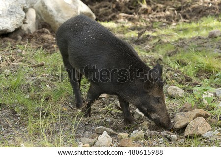 a boar looking for food during summer