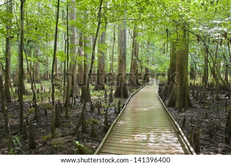 A boardwalk through the cypress forest, swamp, and knees of Congaree National Park in South Carolina. - stock photo