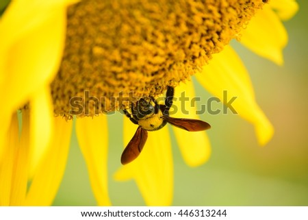 A bold bumble bee on a fresh, yellow sunflower harvesting the nectar from the flower. Vertical format with copy space across the flower. - stock photo