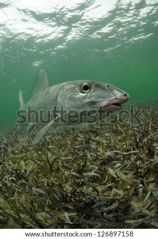 a bonefish is swimming in the grass flats ocean - stock photo