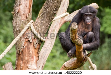 A Bonobo sitting in a tree - stock photo