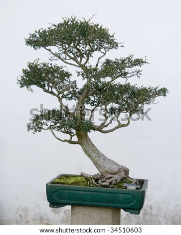 A bonsai in a chinese style garden. - stock photo