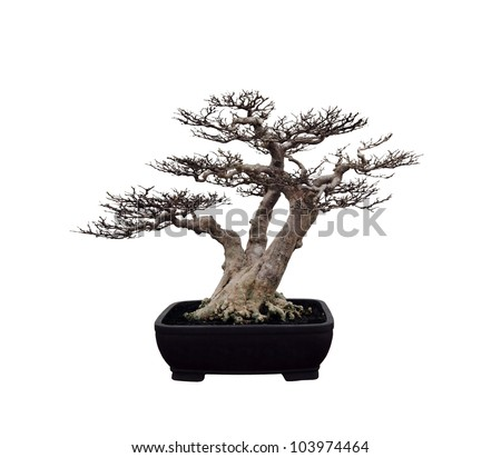 A bonsai miniature tree  in an oriental pot isolated against white.