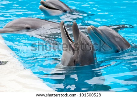 a bootle nose dolphin head in blue water - stock photo