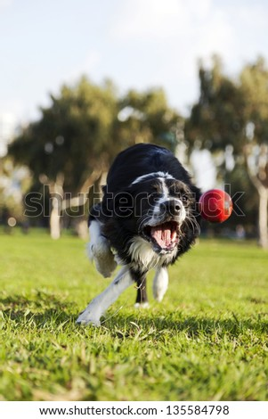 A Border Collie dog caught in the middle of catching a red rubber ball, on a sunny day at an urban park. - stock photo