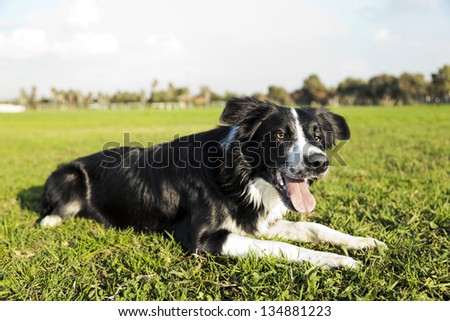 A border Collie dog sitting on the grass at the park, concentrated on something off frame.