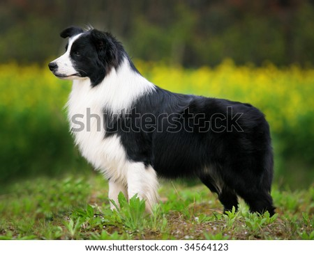 a Border Collie stand on grass - stock photo
