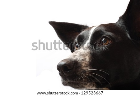 A Border Collie Staring Intensely