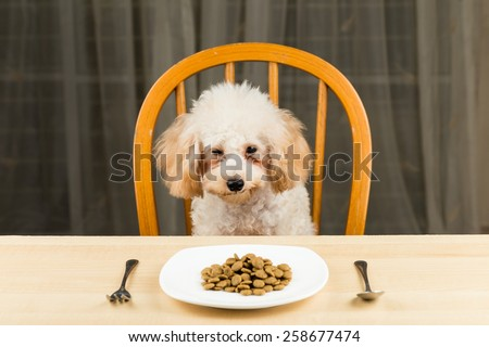 A bored and uninterested poodle puppy looking at her plate of kibbles on the dining table - stock photo