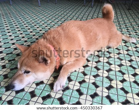 A bored Chiba dog laid on tiled ground
