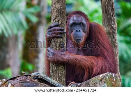 A Bornean orangutan (Pongo pygmaeus) sits among the trees. - stock photo