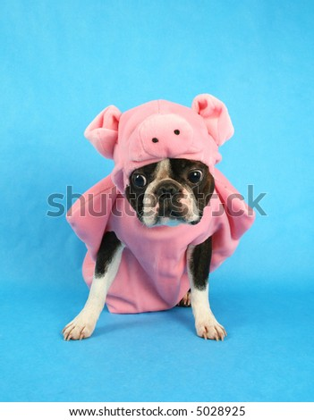 a boston terrier in a pig costume - stock photo