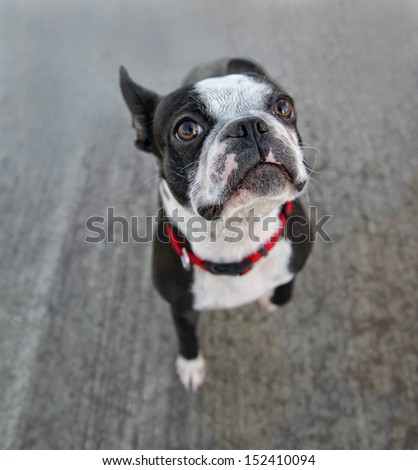 a boston terrier looking at the camera on a pool deck - stock photo