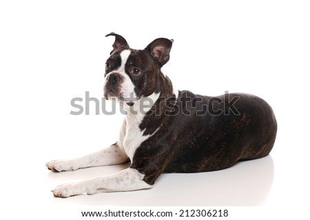 A Boston Terrier lying down - stock photo