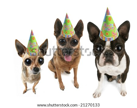 a boston terrier puppy and two chihuahuas with big eyes - stock photo