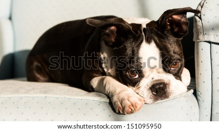 A Boston Terrier puppy lays on an armchair with a sad expression on his face/Sad Eyes - stock photo