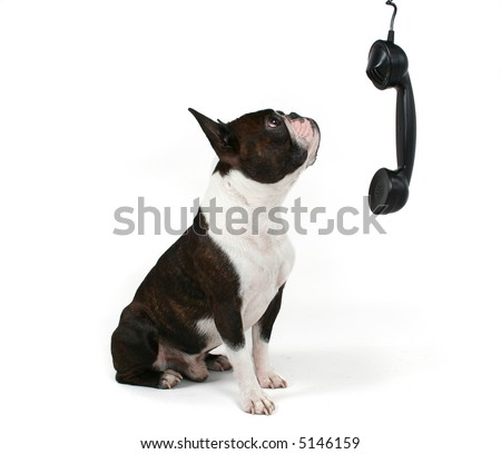 a boston terrier talking on the phone - stock photo