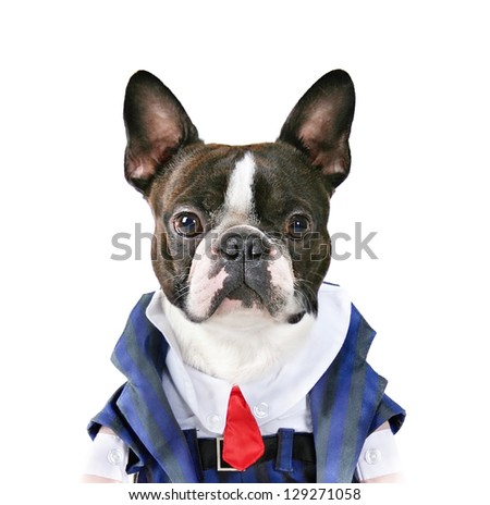 a boston terrier with a suit on - stock photo