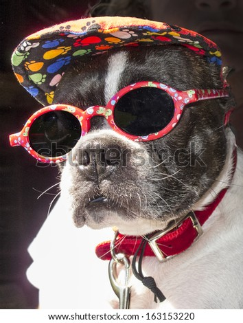 A Boston Terrier with sunglasses and colorful summer hat