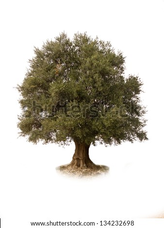 A bountiful olive tree extracted, - stock photo