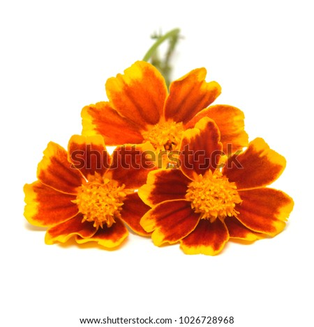 A bouquet of flowers marigold isolated on white background. Flat lay, top view