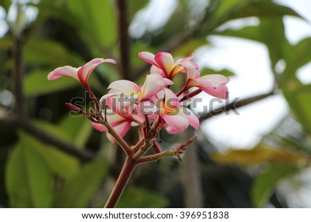 A bouquet of pink frangipani