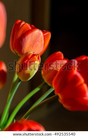 A bouquet of red tulips in a contrast light