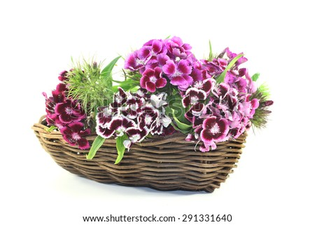 a bouquet of Sweet William on a light background - stock photo