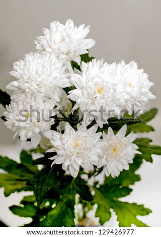 white chrysanthemum stock images, royaltyfree images  vectors, Beautiful flower