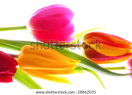 A bouquet of yellow and red and pink Tulips in front of white - stock photo