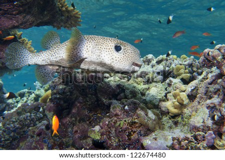 A box  fish in the reef background