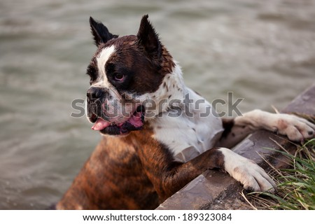 A boxer dog jumped into the river