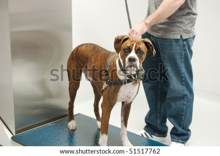 a boxer stands still to get weighed - stock photo