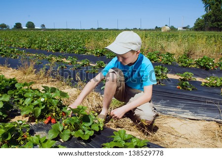 A boy collects berries in strawberry field - stock photo