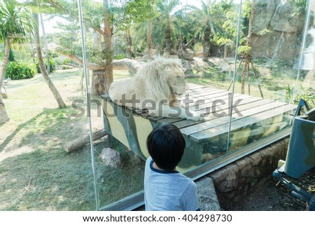 A boy is looking beautiful male white lion in the zoo   - stock photo