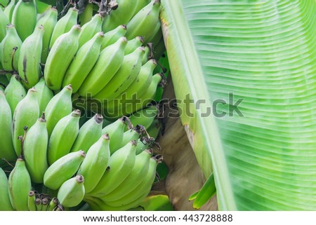 A branch of a bananas hanging on a banana tree. - stock photo