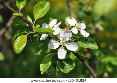A branch of a blooming apple tree, close up - stock photo