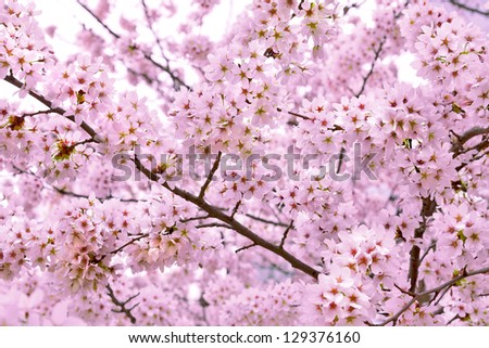 A branch of a cherry. Spring landscape. Close-up. - stock photo