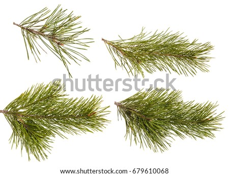 A branch of a pine tree. Isolated on white background. Set