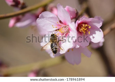 a branch of almond trees in full bloom with a bee - stock photo