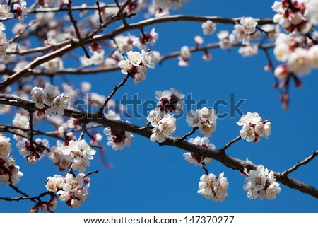 A branch of apricot during the spring bloom close-up