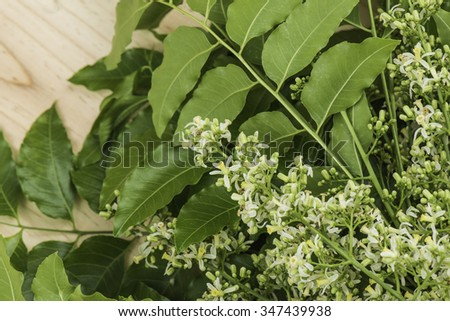 A branch of Azadirachta indica, neem tree showing compound leaves and bunches of small flowers.  - stock photo
