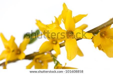 A branch of bright yellow forthysia flowers on a white background. On flower stands out among several other flowers. - stock photo
