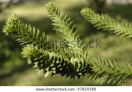 A branch of evergreen Araucaria tree