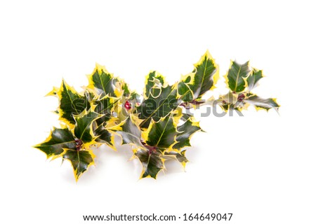 a branch of holly, for Christmas, on a white background