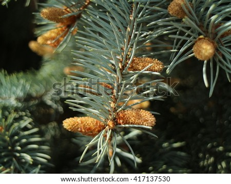 A branch of new pine tree cones closed up - stock photo