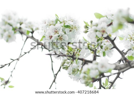 A branch of of blooming White Pear Flower